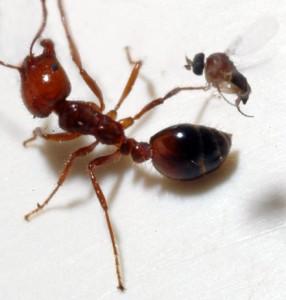 090515-zombie-ants-flies_big