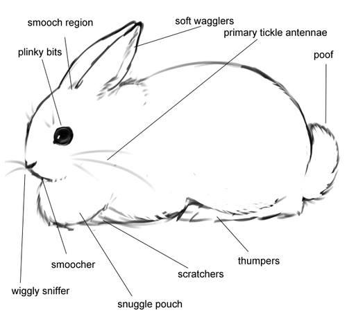 Bunny Anatomy
