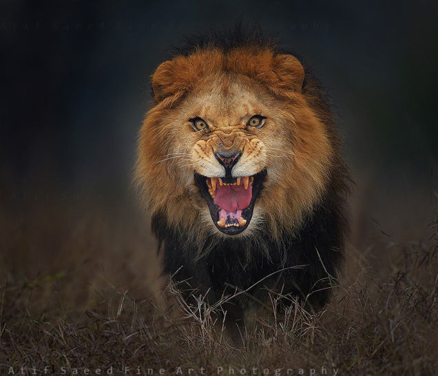 lion 2 atif saeed fine art photography