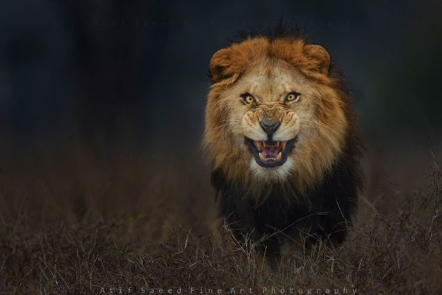 lion atif saeed fine art photography